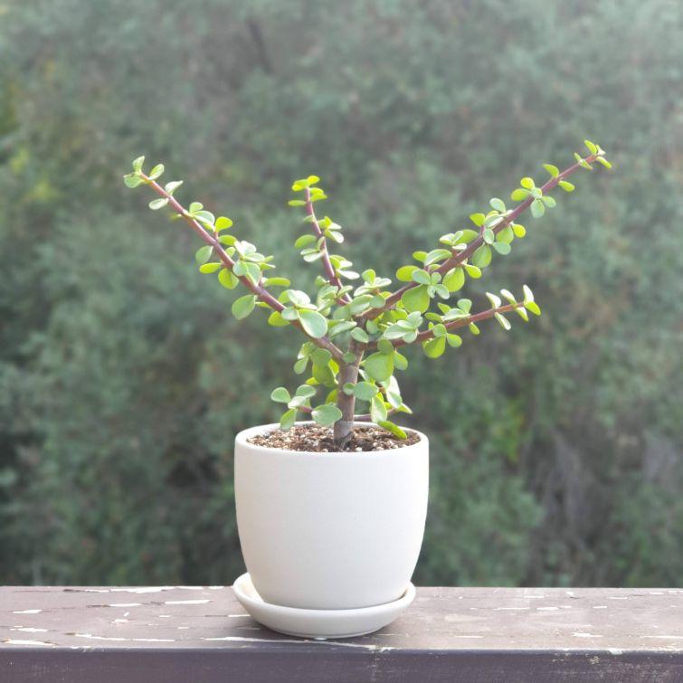 elephant-plant